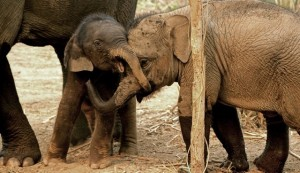 Did Raju Really Weep? What Elephant Tears Tell Us About Animals In Mourning, The Dodo: Big elephants don't exactly cry.